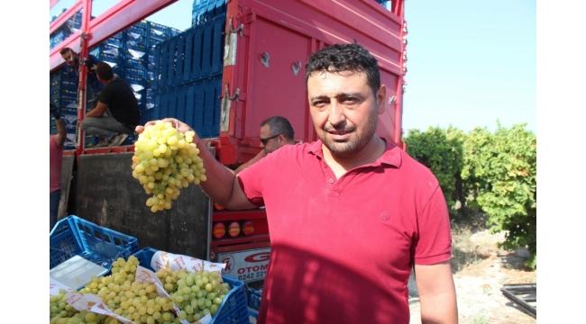 Sultaniye üzümünde hasat başladı, ilk ürünler Rusya ve Avrupa ülkelerine